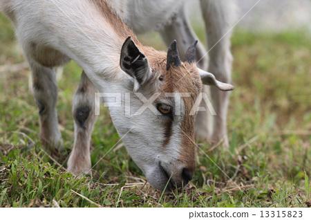 一隻山羊 13315823