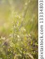 flowers, flower, capsella bursa-pastori 13334803