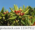 海桐 日本山梅花 种子 13347912