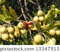 海桐 日本山梅花 种子 13347913