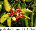 海桐 日本山梅花 种子 13347942