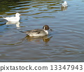 northern, pintail, black-headed 13347943