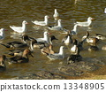 northern, pintail, black-headed 13348905