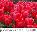 Tulip 13351406