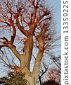 big, tree, japanese 13359225
