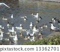 飞行到Inagihama海滩公园和eelgrass池塘的冬天候鸟 13362701