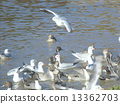 northern, pintail, black-headed 13362703