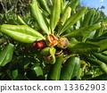 海桐 日本山梅花 種子 13362903