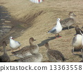 northern, pintail, black-headed 13363558