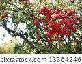 火棘 水果 红 13364246
