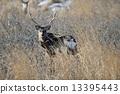 hokkaido, sika, animal 13395443