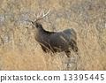 hokkaido, sika, animal 13395445