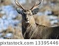 hokkaido, sika, animal 13395446