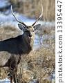 hokkaido, sika, animal 13395447