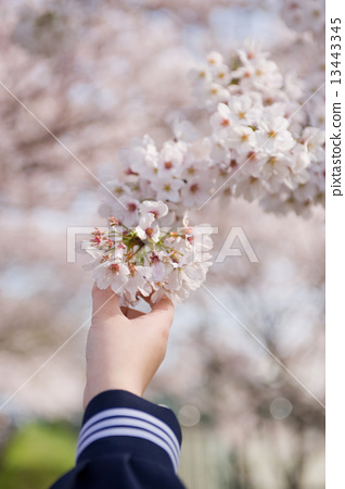 Junior high school student's hand and cherry 13443345