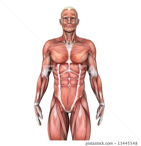 人體模型 13445548