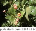 日本主轴 大叶黄杨 种子 13447332