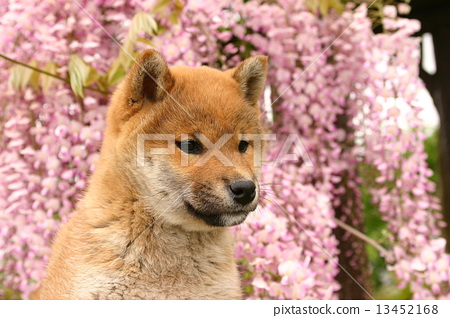 Wisteria flower and Shiba Inu 13452168