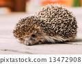 Small Funny Hedgehog On Wooden Floor 13472908