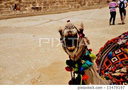 낙타의 위협 13479197