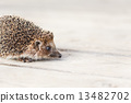 Small Funny Hedgehog On Wooden Floor 13482702