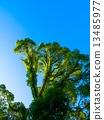 樟腦樹 樟木 纏在一起 13485977
