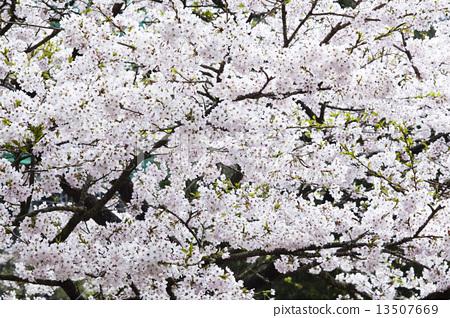 盛開的櫻花 13507669