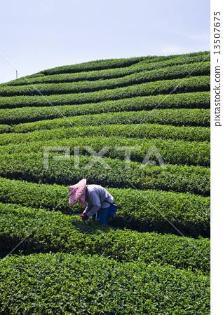 採茶 13507675