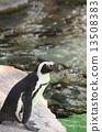 cape, penguin, african 13508383