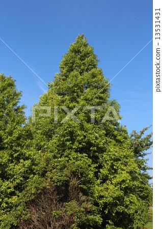 나무 13531431