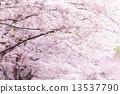 吉野櫻花樹 街道樹 柱廊 13537790