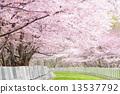 ต้นเชอร์รี่ Yoshino 13537792