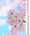 Sakura 13543034