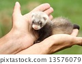 Polecat in hands 13576079
