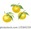 水彩畫 水彩 柚子(小柑橘類水果) 13584239