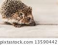 Small Funny Hedgehog On Wooden Floor 13590442