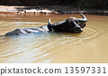 Asian Water Buffalo in his habitat, near Mekong river, Cambodia. 13597331