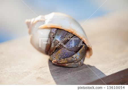 Closeup of a hermit crab in shell  13610054