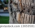 蜥蜴 可可 椰子树 13650581