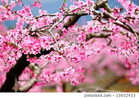 Peach blossoms 13652433