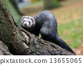 Dark ferret 13655065