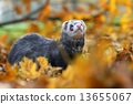 Autumn ferret 13655067