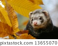 Ferret and leaves 13655070