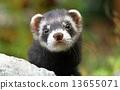 Polecat 13655071