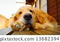黃金獵犬 金毛獵犬 獵犬 13682394