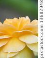 노란 장미 꽃잎 13682948