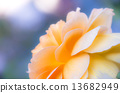 Yellow rose petals 13682949