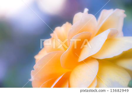 노란 장미 꽃잎 13682949