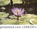 Water lily in the sunny pool 13682951