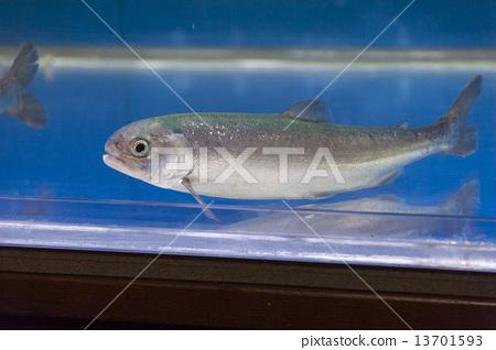 """환상의 물고기 """"国鱒 (쿠니마스""""전신 (왼쪽) 변형 13701593"""